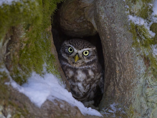 Little Owl by rmccombe