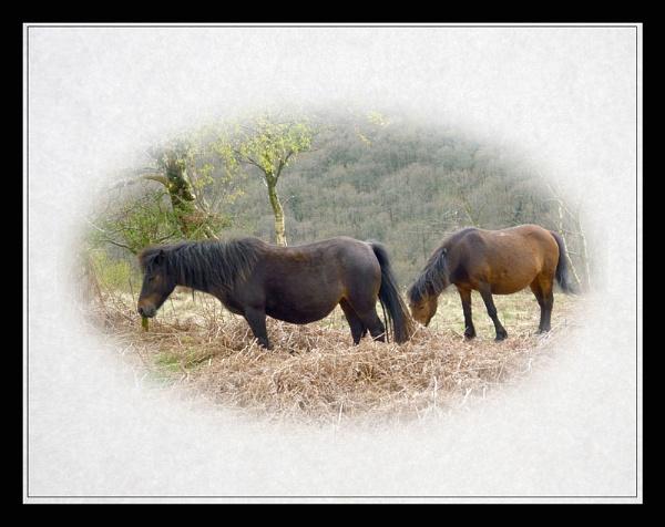 Dartmoor Ponies by Bonvilston