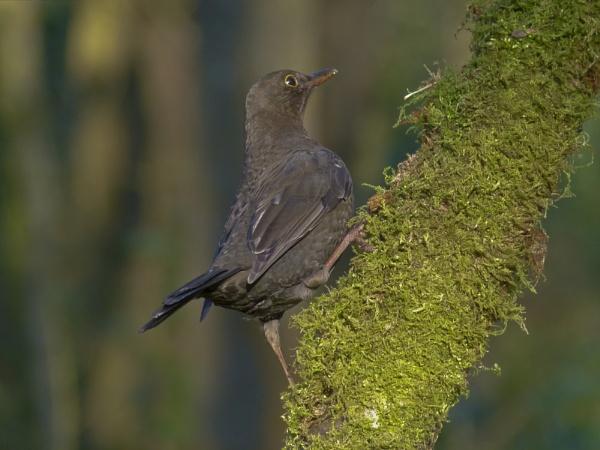 Female Blackbird by MartinG365