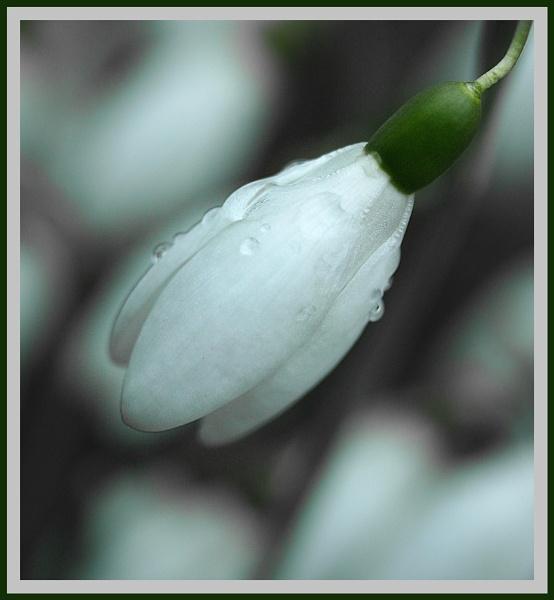 Single snowdrop by Heffo1