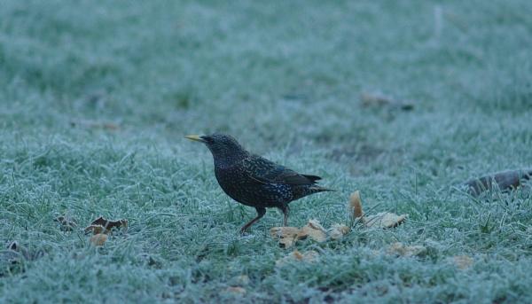 Starling by Gregoir