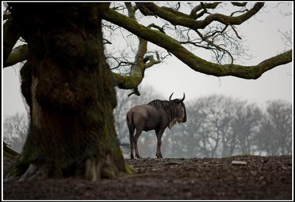 Wildebeest by Maverick_insane