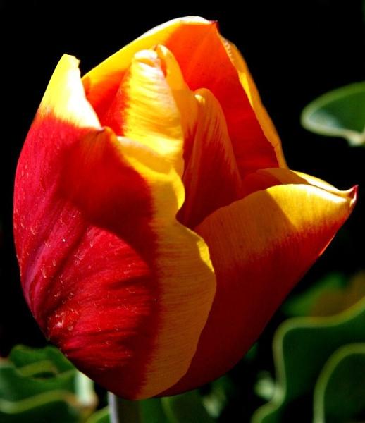 Sunlit Tulip by butterflydiva72