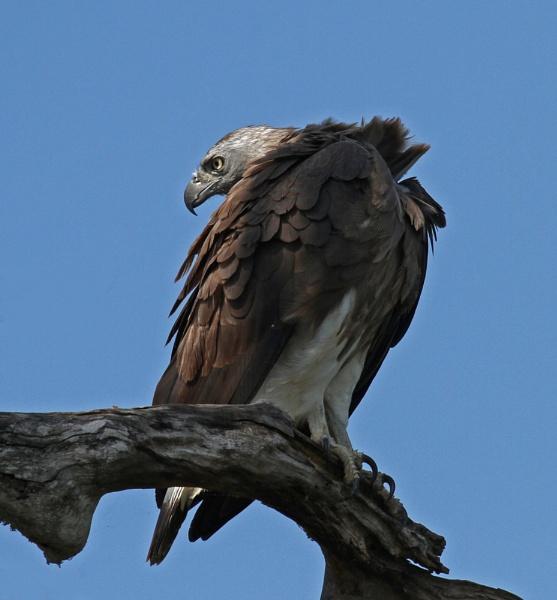Grey-headed Fish Eagle by czech