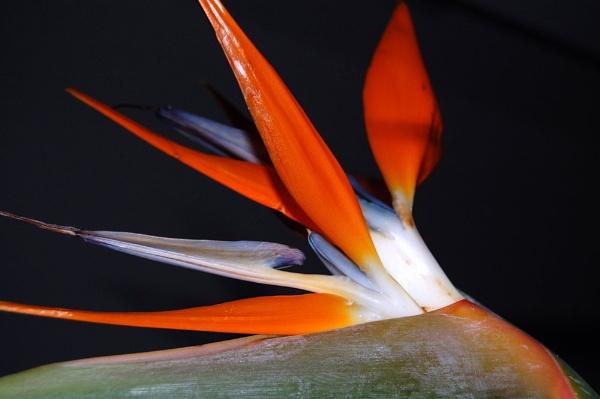 bird of paradise by lawsonwazere