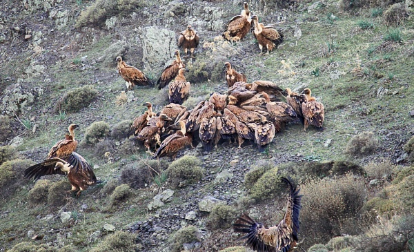 Local Griffons Vultures, Crete by PatriciaWilson