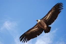 Crete, Griffon Vulture 5