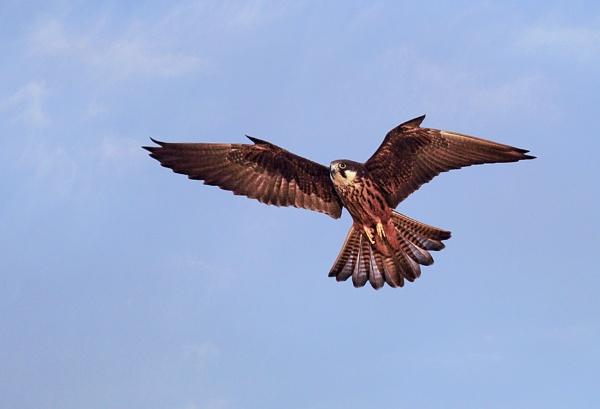 Eleonora\'s Falcon 2 by PatriciaWilson