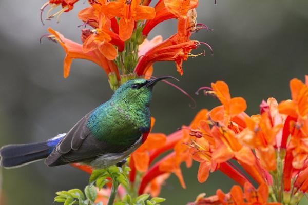 Collared Sunbird by PieterDePauw