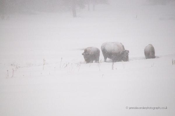 Bison in a Blizzard by jennialexander