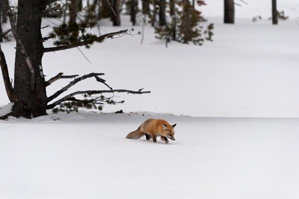 Red Fox Stalking by jennialexander