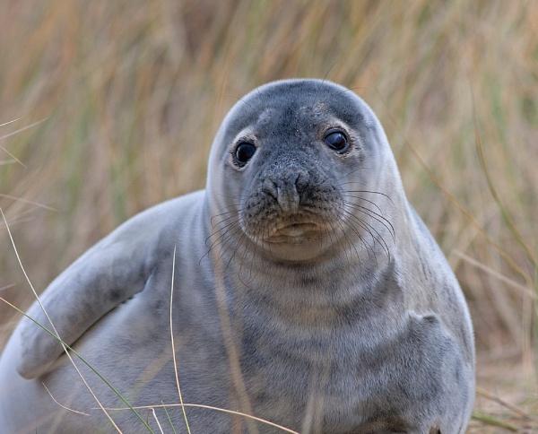 Grey Seal Pup. Grey by Julian
