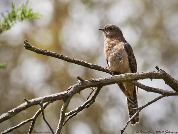 Fan-tailed Cuckoo by Ycmah