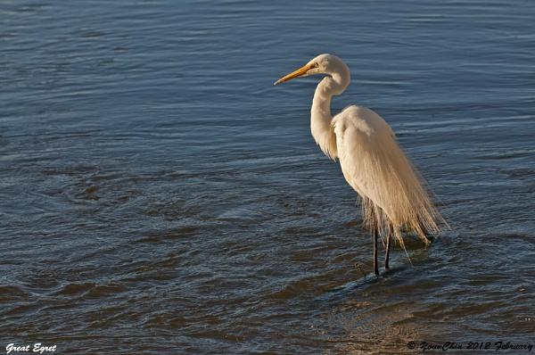 Great Egret by Ycmah