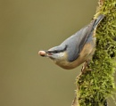Nuthatch with Prize