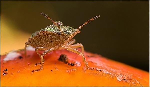 Green Shield Bug on Fly Agaric by Glynn