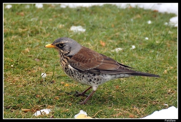 Fieldfare by Hobo