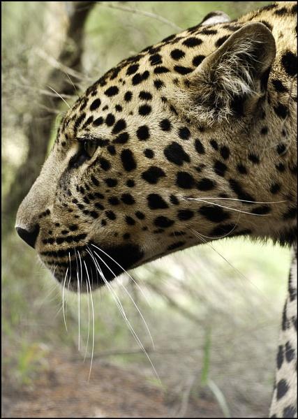 Leopard on Alert by RoyMarriott