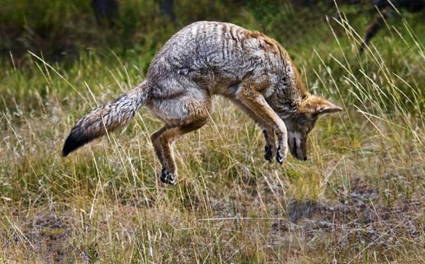Coyote Hunting - Yellowstone by Zydeco_Joe
