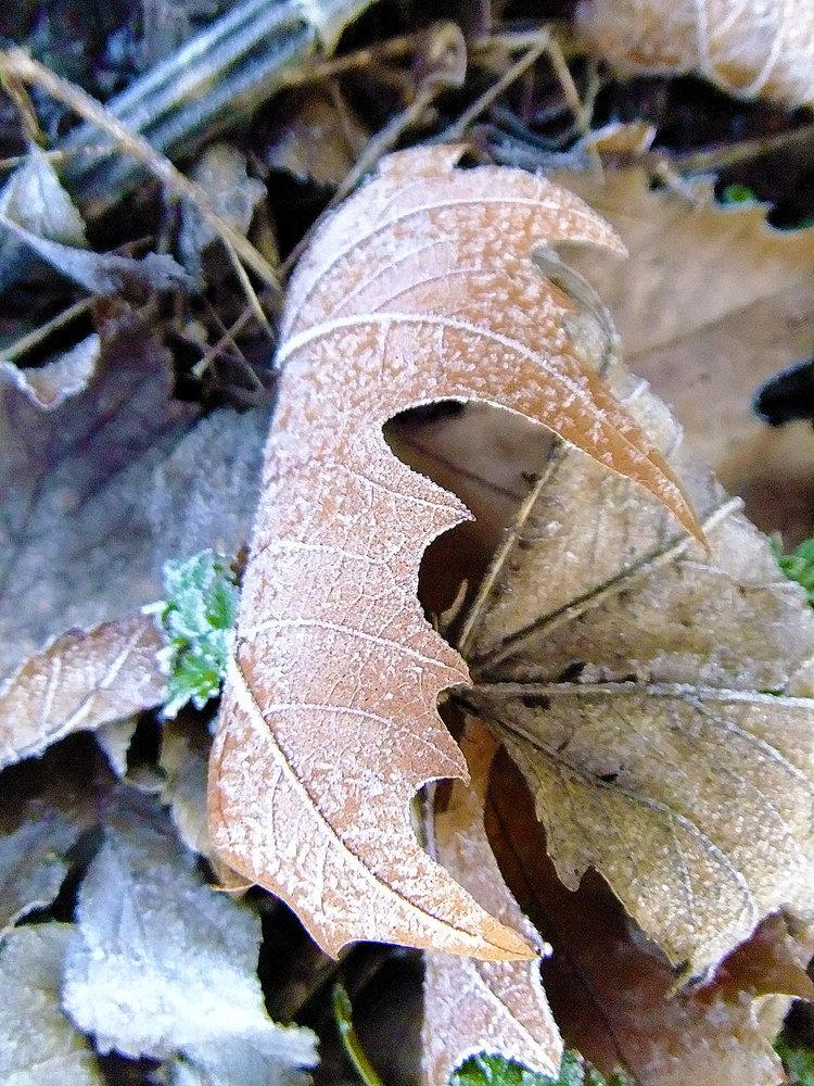 Icy Leaf 1