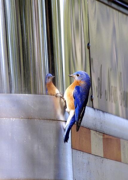 Bluebird by wsteffey