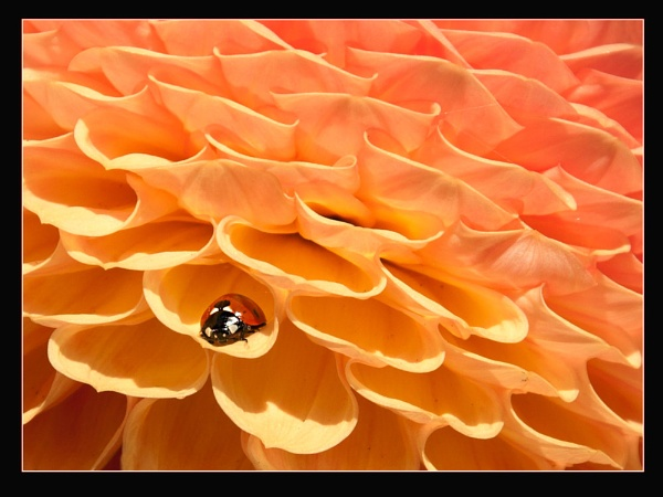 Ladybird in Chrysanthemum by Pamella