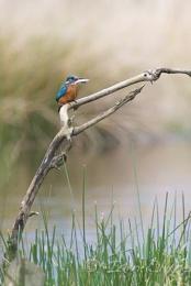 Kingfisher on stick