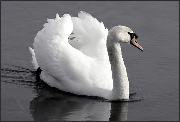 Elegant Swan by f8