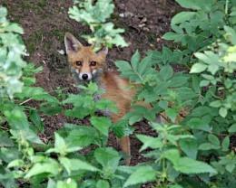 Suffolk Fox