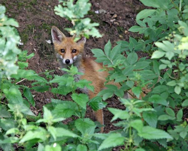 Suffolk Fox by Malc61