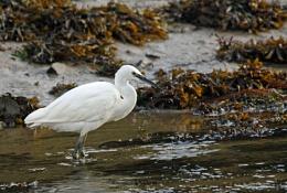 Pembrokeshire Egret