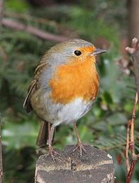 Robin in local park.