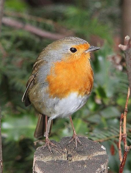 Robin in local park. by Steve2rhino