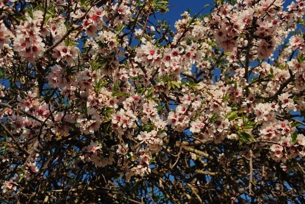 Almond tree blossom by Chinga