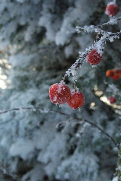 Icy Berries by miaallaker