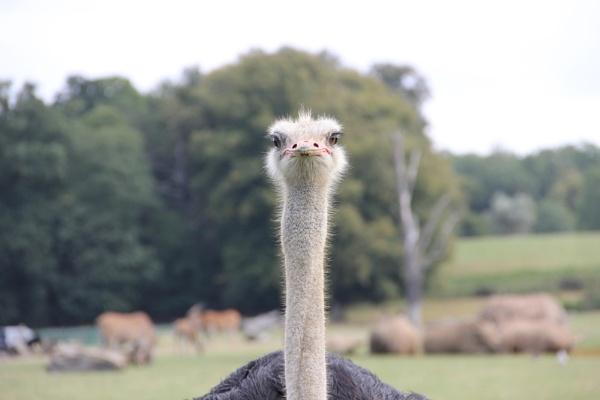 Ostrich by JadeClark