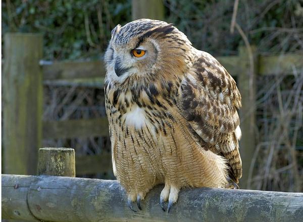 Eagle owl by norton