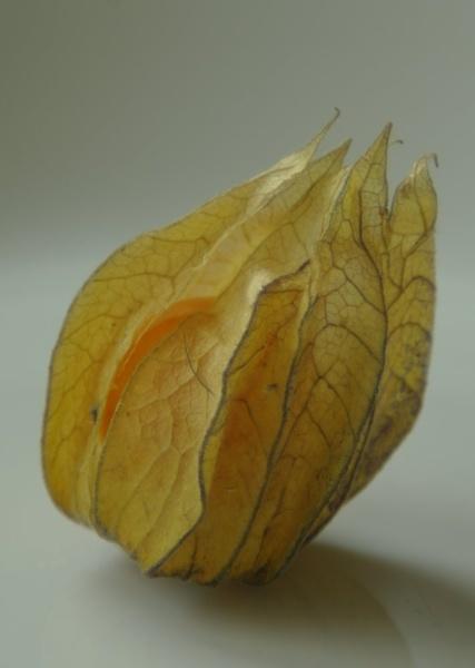 Inca Berry by Gregoir