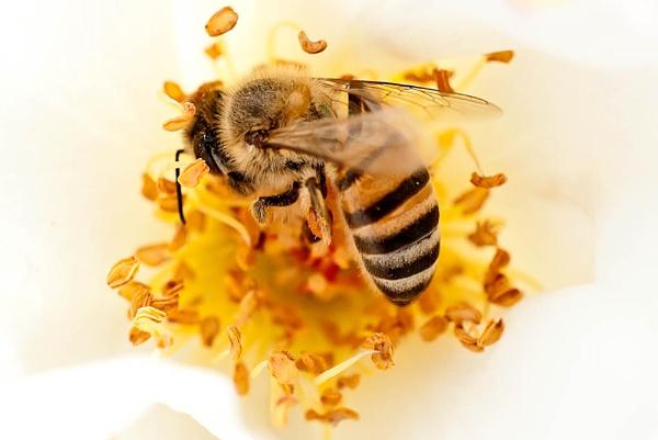 Breakfast bee by photomarc