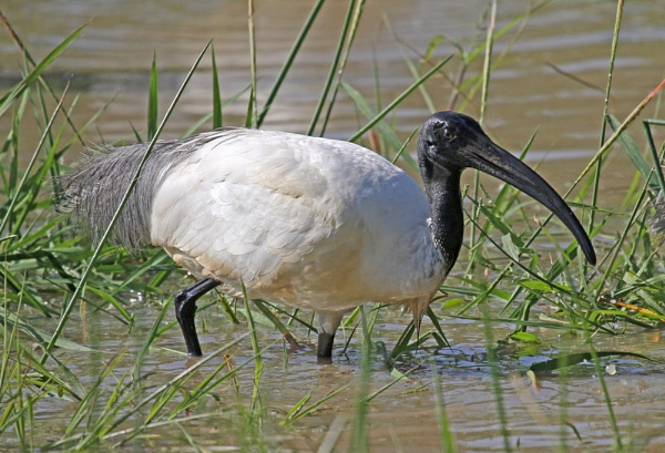 Black-headed Ibis by czech