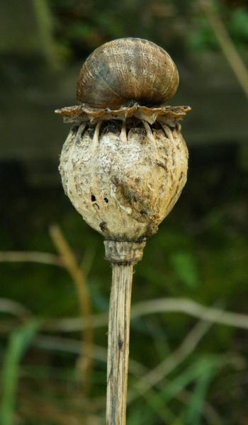 opium snail by jadus