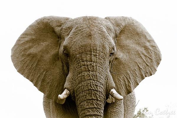 African Elephant by TomCoetzee