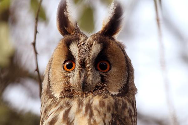 long eared owl (wild) taken in devon england. by GRAYCLEMENTS
