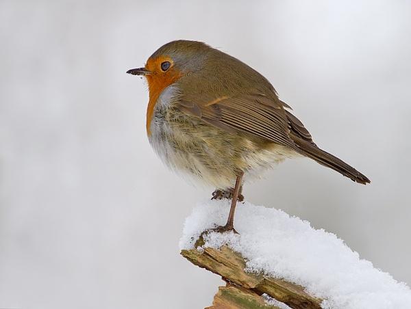 Winter Robin by MossyOak