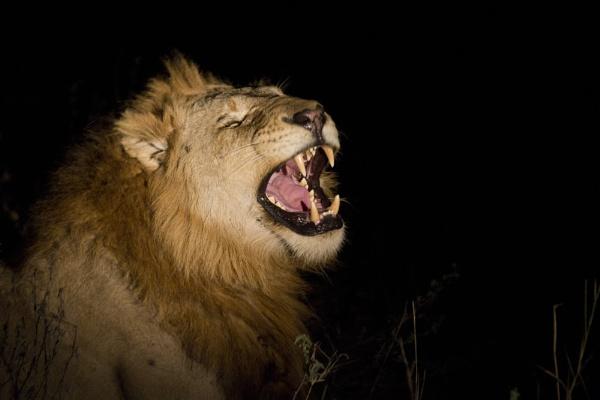Lion at night by PieterDePauw