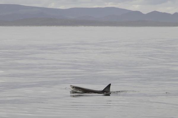 Great White Shark - luckily swiming away now by PieterDePauw