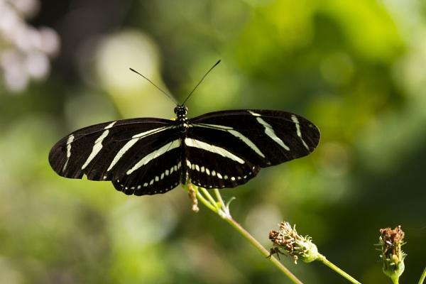 Zebra butterfly by PieterDePauw
