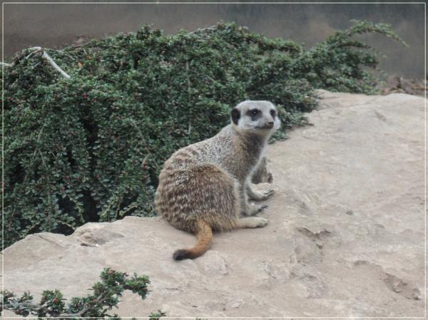 Meerkat by BettyCutts