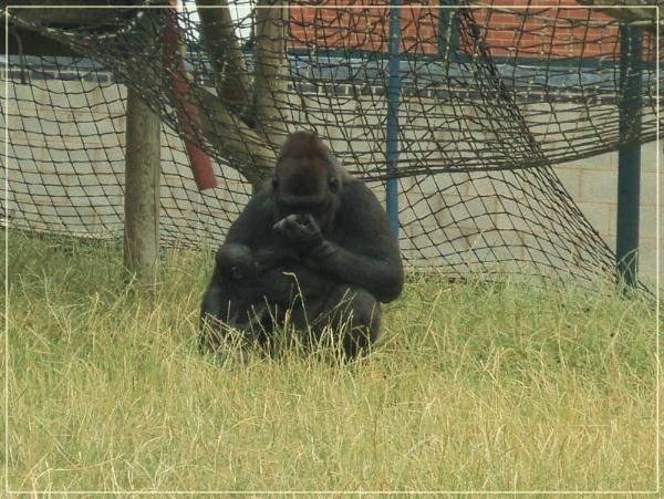 Gorilla by BettyCutts