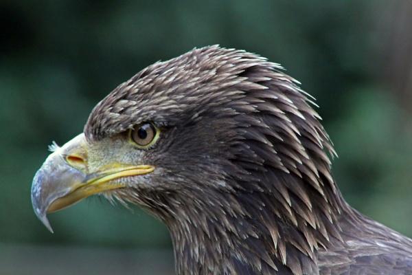 Juvenile American Bald Eagle by lostnspace2011